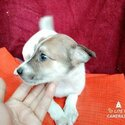 Labrador mixed breed  male & female puppy-2