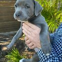 Adorable Puppy Stadfordshire Bull Terrier Puppies-1