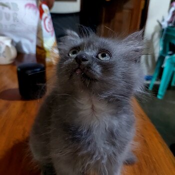Persian Cat for rehoming