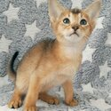 Abyssinian Kittens Available -1