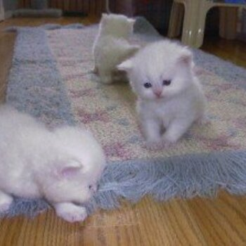 Charming Gifts Persian Kittens Ready Now