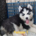 Quality Wooly Thailand import line Siberian husky-0