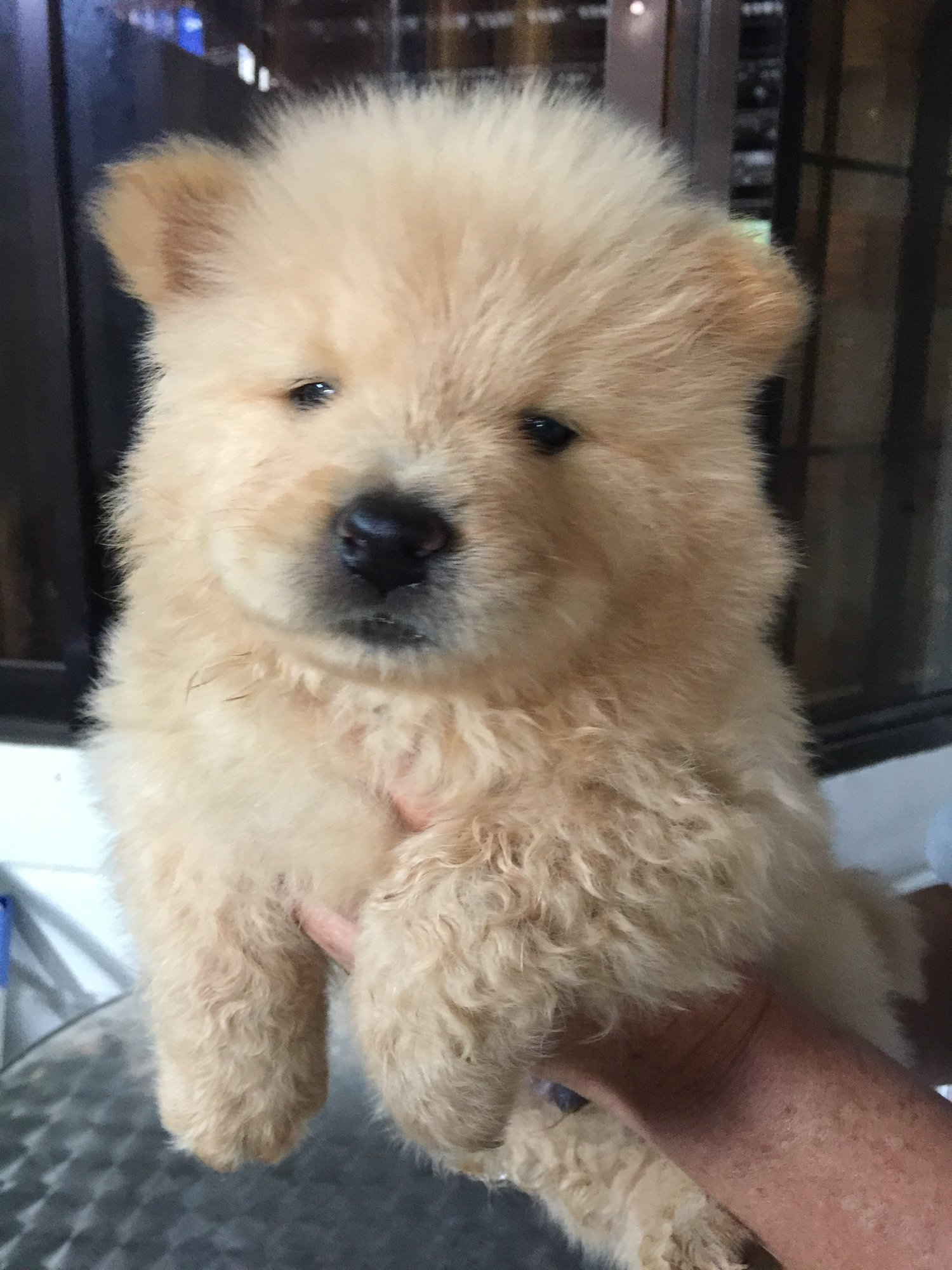 Chow chow puppies for sale   2 months old in ANTIPOLO ...