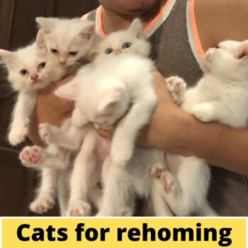 Persian Kittens for Rehoming (7,500 ONLY)