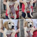 Golden Retriver puppies with Pcci papers , CHampion line-5
