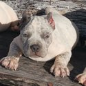 American Bully Puppies-0