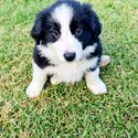 Adorable Border collie puppies for rehoming-0