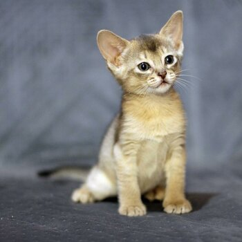 Abyssinian Kittens Available