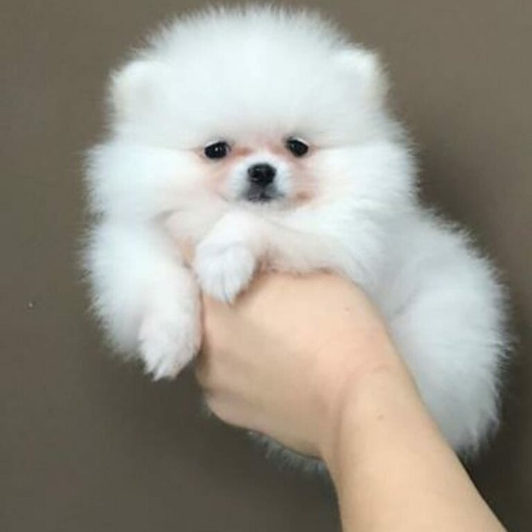 pomeranian puppies for sale in philippines