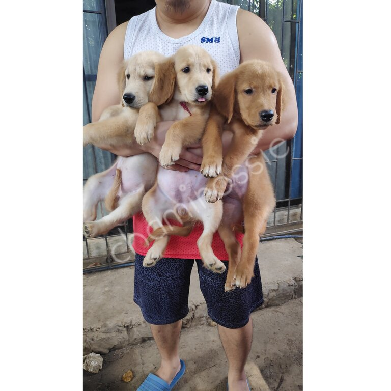 Golden Retriver puppies with Pcci papers , CHampion line