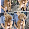 Golden Retriver puppies with Pcci papers , CHampion line-4