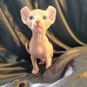 Sphynx Kittens Available Now-0
