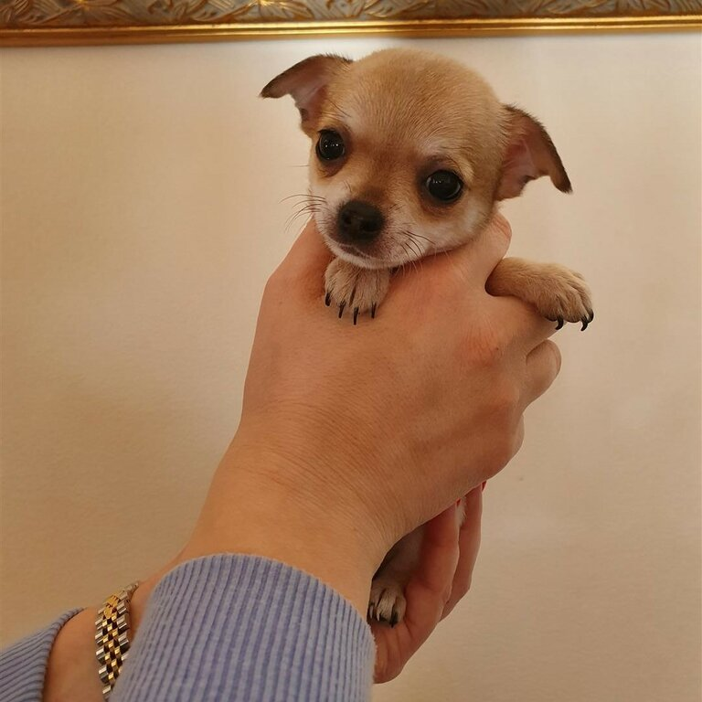 well trained smooth skin Chihuahua puppies